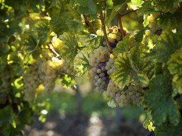 Das Bild zeigt eine Weinrebe, an denen viele Trauben hängen.