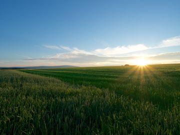 Das Bild ziegt ein großes Getreidefeld im Hunsrück. Im Hintergrund erkennt man den Sonnenuntergang.