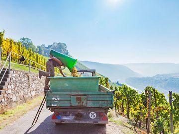 Auf dem Bild befindet sich ein Erntewagen mit einem Erntehelfer der seine Traubenbütte entleert. Der Himmel ist sehr blau und die Sonne strahlt.