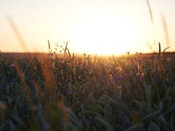 Das Bild ist eine Nahaufnahme von einem Getreidefeld im Hunsrück. Zwischen den einzelnen Getreidekörner befinden sich blaue Blüten. Im Hintdergrund erkennt man den Sonnenuntergang.