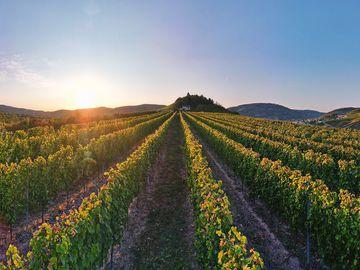 Das Bild zeigt einen ebenerdigen Weinberg am Fuße der Marienburg. Oberhalb befindet sich die Marienburg und ein wunderschöner Sonnenuntergang.