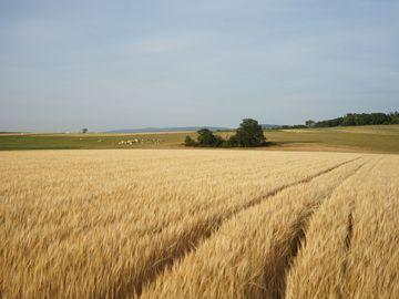 Das Bild ziegt ein Getreidefeld im Hunsrück. Im Hintergrund befinden sich Kühe, die auf der Weide Nahrung fressen.