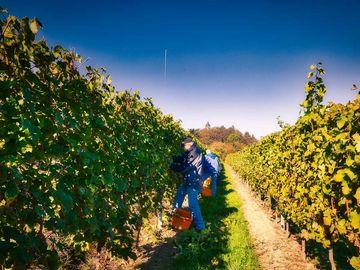 Auf dem Bild befindet sich ein Weinberg bei tollem Wetter. Die Erntehelfer sind dabei die Trauben zu lesen.